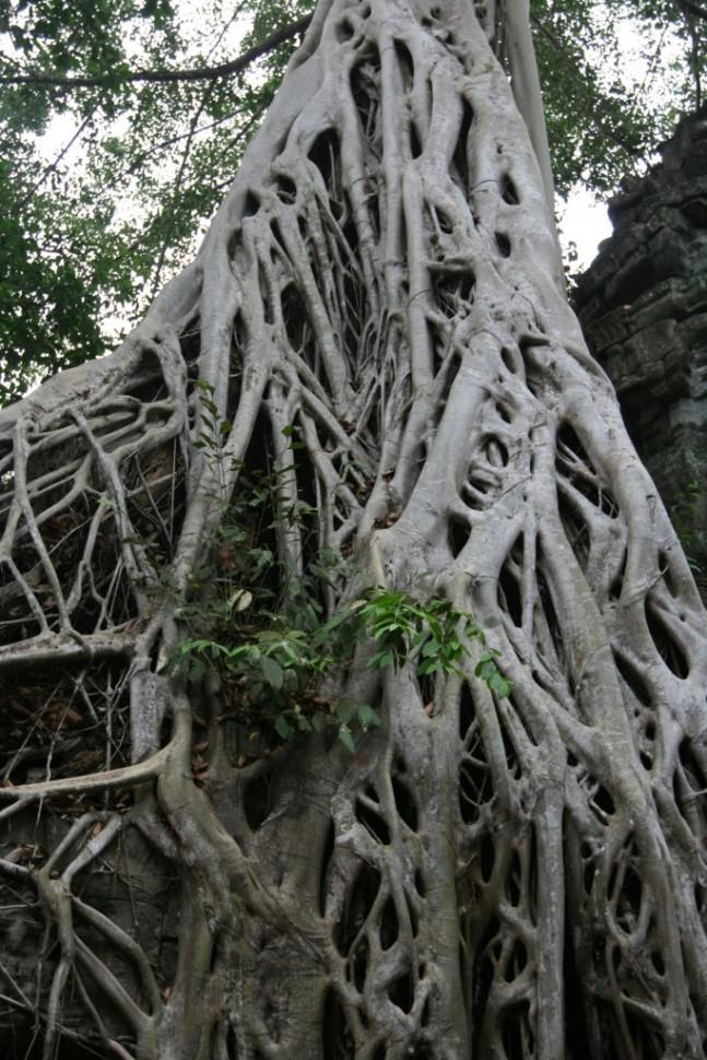 Angkor lava tree weblike