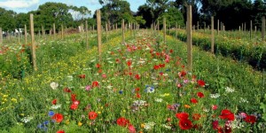 Ata Rangi - wildflowers in the vineyard rows