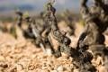 Beaucastel vines