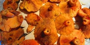 Saffron Milk Caps/Pines (lactarius deliciosus)