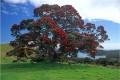 New Zealand's native Pohutakawa tree