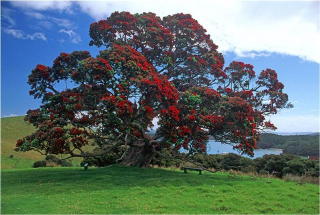 New Zealand's native Pohutakawa tree