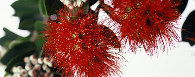 Pohutukawa www.projectcrimson.org.nz