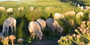 Poon Boon Lamb free-ranging amongst saltbush and Mallee grass