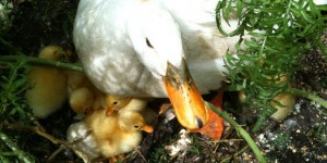 resident Aylesbury duck and its newly hatched ducklings at Ruth & Paul Pretty's Springfield Property