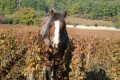 Shalom Burgundy Blog - Horse ploughing the vines