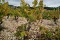 The old vines of Cassis