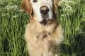 Winston, Golden Retriever from Coward & Black, Australia