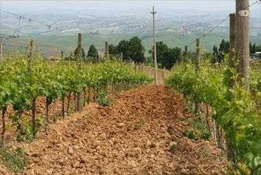 Conti Costanti vines, Tuscany