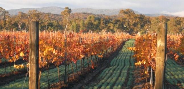 Dalwhinnie vineyard autumn view, Australia