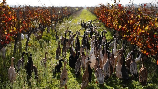ducks in vineyard