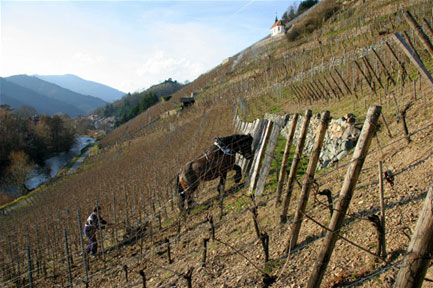 Zind-Humbrecht's famous Grand Cru vineyard Rangen