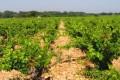 M. Chapoutier Cotes du Rhone vineyard, France