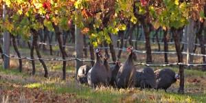 Guineau Fowls resident at Arlewood Vineyard, Australia