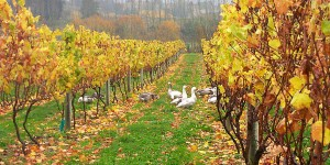 Neudorf geese, New Zealand